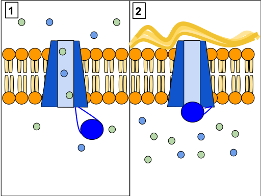 CFTR protein: A. normal B. gating mutant. Source: Lbudd14 http://bit.ly/1rGrzJ1