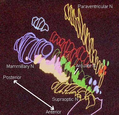 Hypothalamic nuclei on one side of the hypothalamus, in 3-D. Source: Was a bee. http://bit.ly/13o91HU