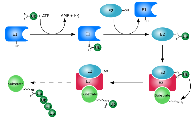 Ubiquitin pathway. Source: Rogerdodd, English language Wikipedia
