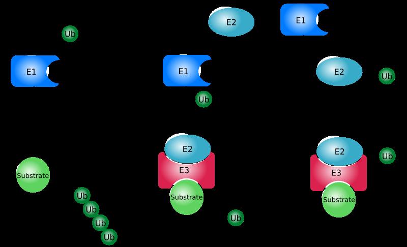 Ubiquitin pathway. Source: Rogerdodd, English language Wikipedia